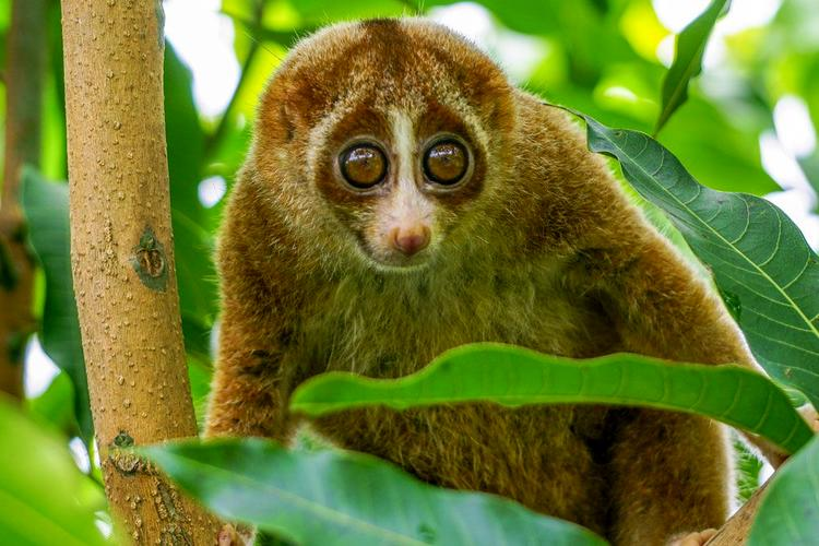 Slow-Loris-Looks-Out-Trees