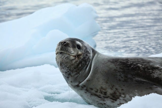 leopard-seal-on-land