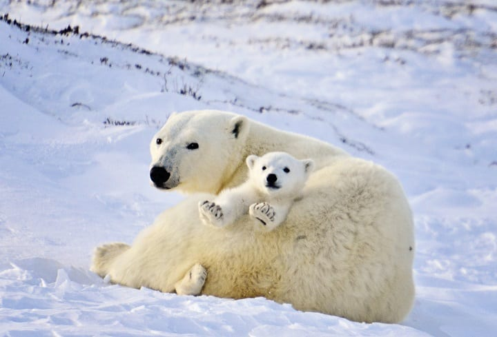 Polar-Bear-Mother-and-Newborn-Cubs-by-Michelle-Valberg-_MV84145_SM