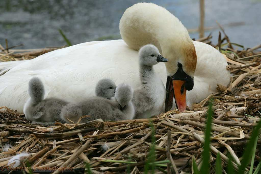 09554-Mute-Swan-with-cygnets