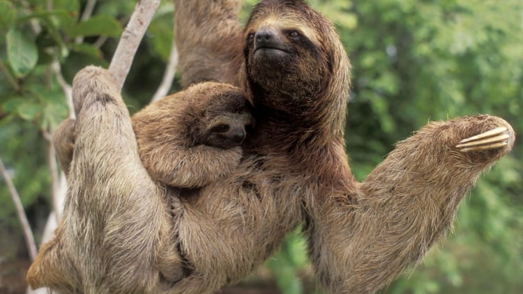 three-toed-sloth-desktop-background