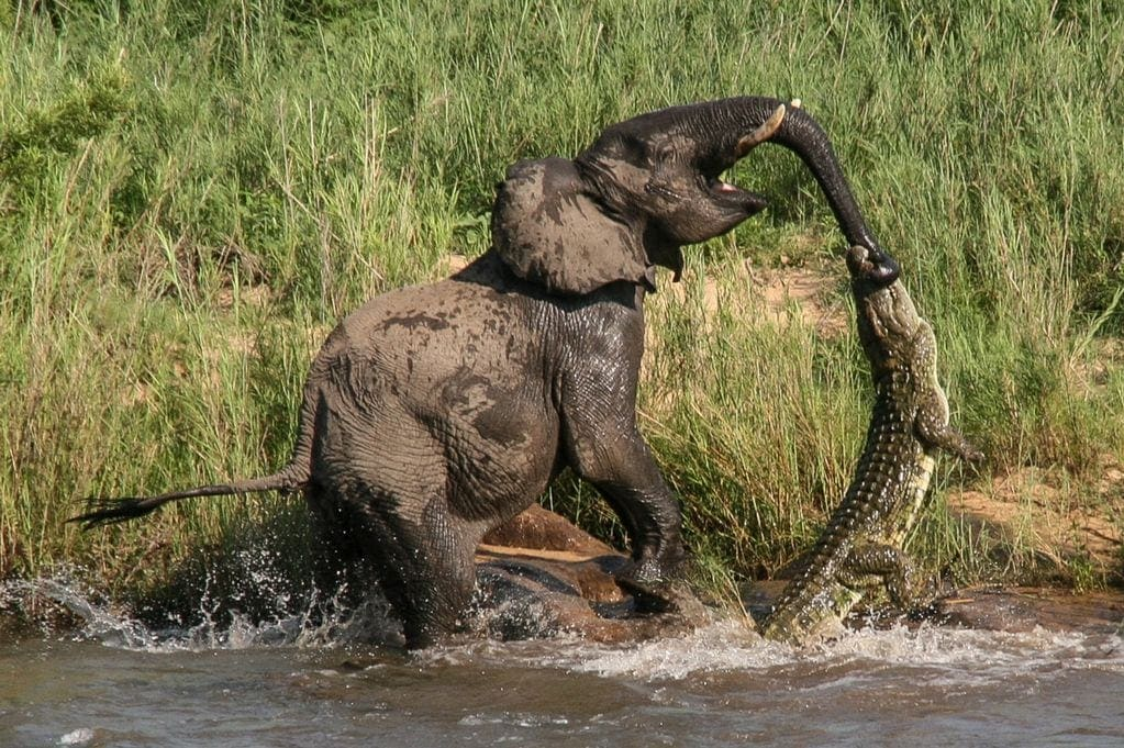 Elephant-v-Crocodile
