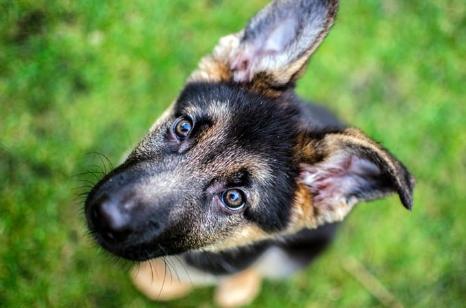 german-shepherd-puppy-pictures