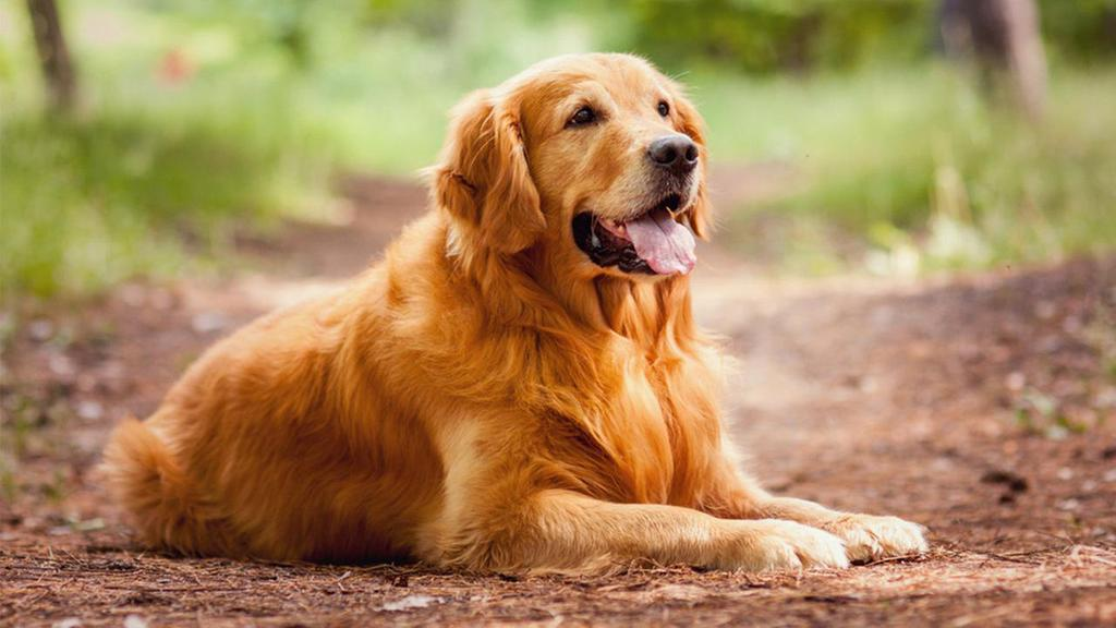resting-golden-retriever