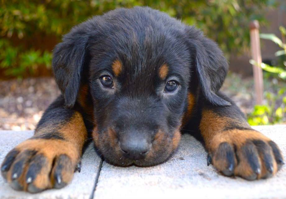 Beauceron_SERP