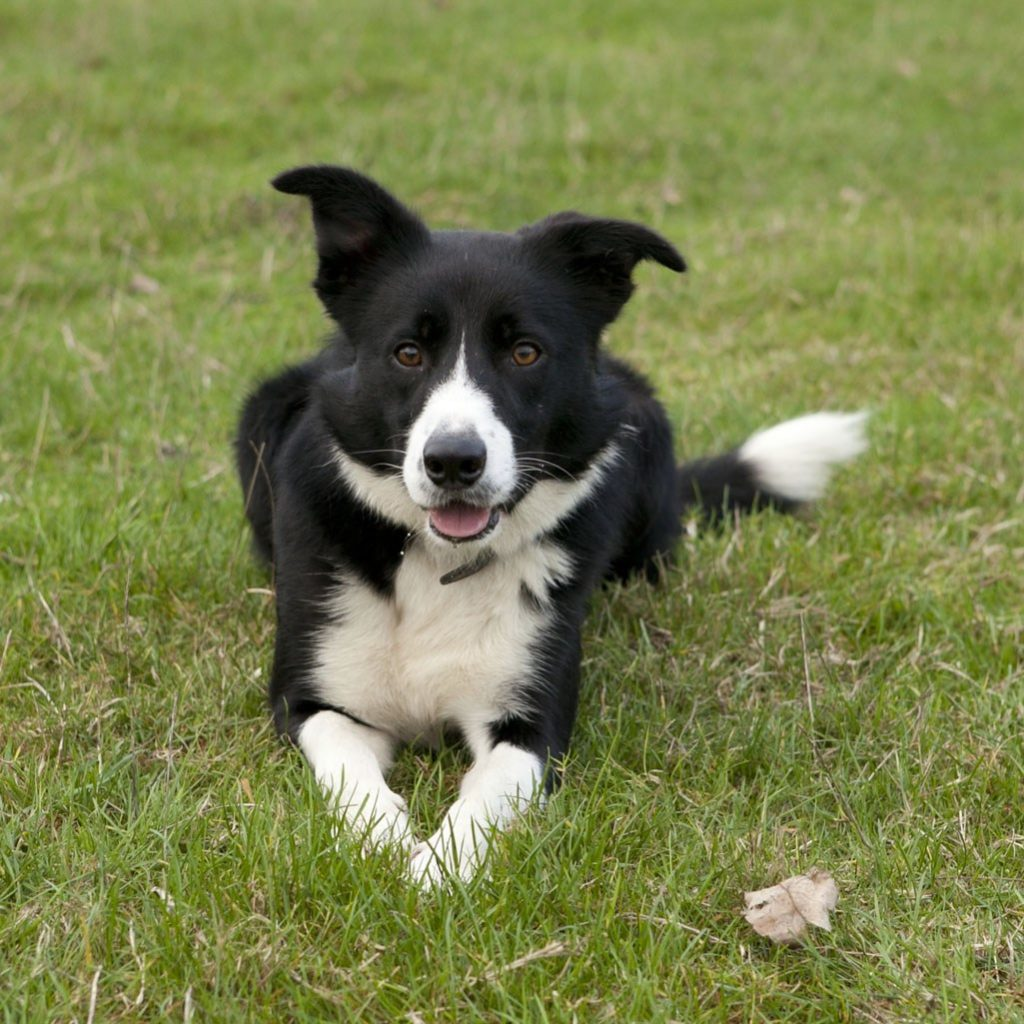 Smooth-coated-collie-Max