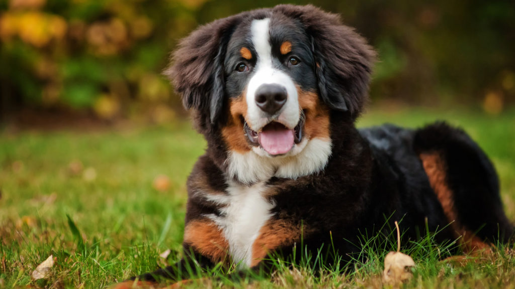 meet-the-breed-bernese-mountain-dog
