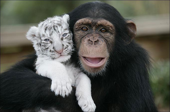 anjana-the-chimpanzee-and-two-tigers-1