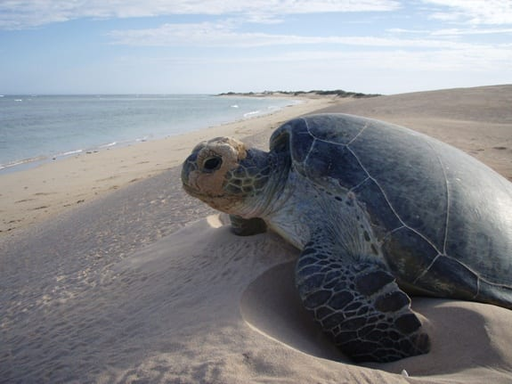 ningaloo-reef-wa-turtles-1-australian-animals