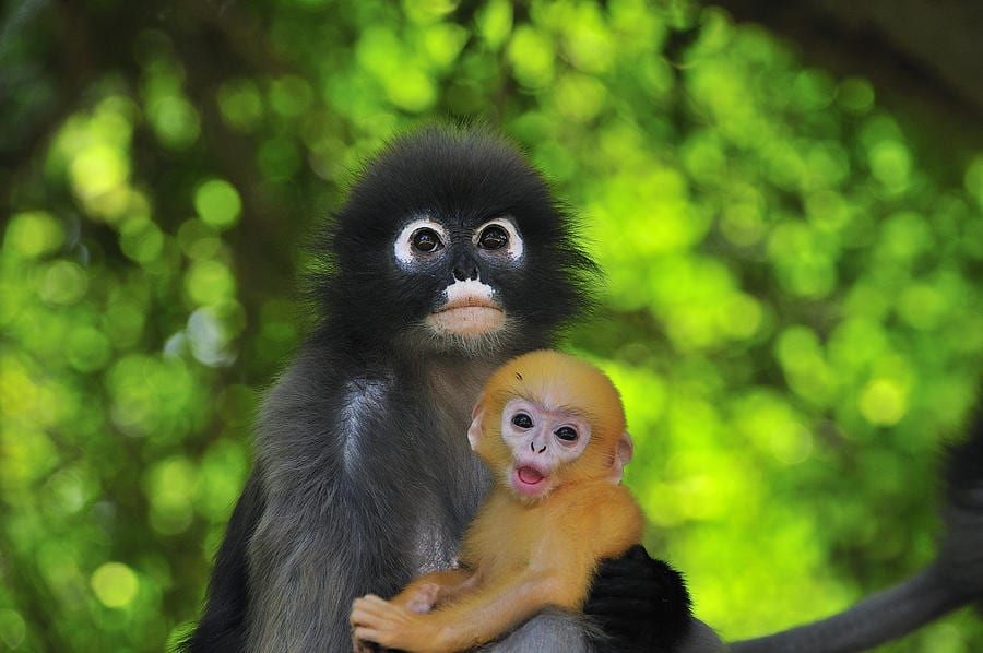 dusky-leaf-monkey-and-baby-thomas-marent-australian-animals