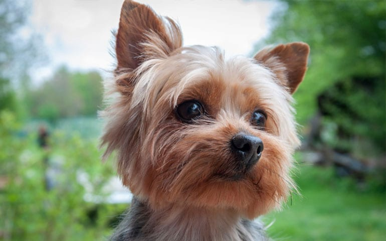 yorkshire-terrier-cover